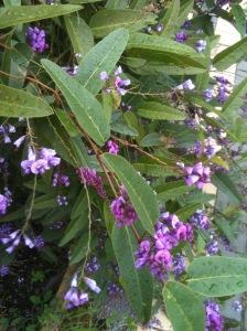 Hardenbergia flowering.