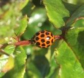 Ladybird on my roses