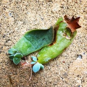 Baby succulent plants